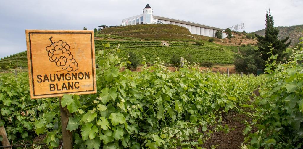 Sauvignon blanc: вино с особенным характером