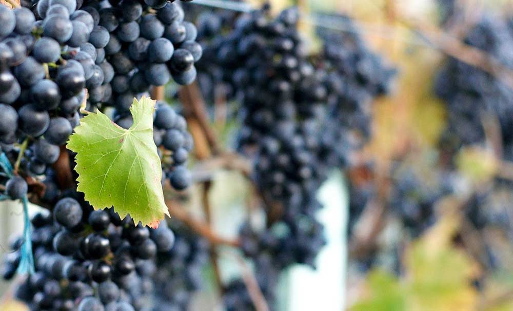 1200px-Lagrein_grape_clusters_at_Gisborne_Peak.jpg